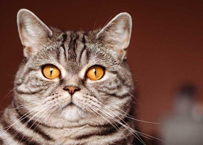 Un beau chat tigré aux yeux orange. ESNA.