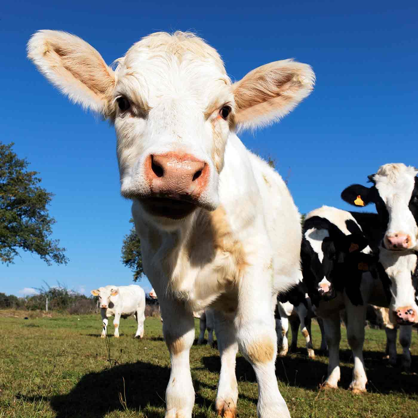 Un jeune veau dans un pré en gros plan. ESNA formation en naturopathie pour animaux.